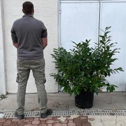 Laurier ' Laurocerasus ' Hauteur 140 cm avec le pot