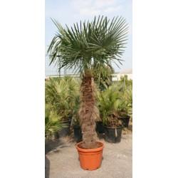 Palmier Trachycarpus Fortunei 250 cm