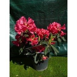 Rododendron rose