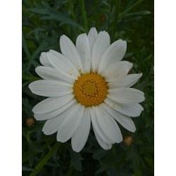 Marguerite (Leucanthemum maximum 'Becky')