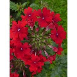 Verveine rouge (Verbana Red zoom)