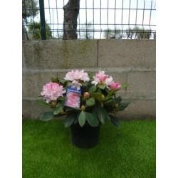 Rhododendron yakushimanum 50 cm
