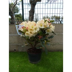 Rhododendron hybride horizon Monarch 70 cm