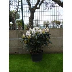 Rhododendron hybride 70 cm