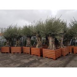 Ensemble d'oliviers centenaires (120 - 140 ans) Pot en Bois