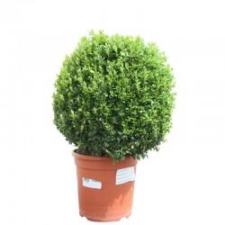 Buis Boule (Buxus boule) diamètre 30 cm hauteur 60 cm
