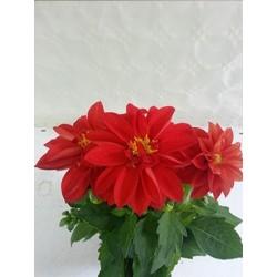Dahlia variabilis orange 30 cm (Zoom)