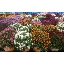 Chrysanthèmes unicolores en pot (Toussaint 2017)