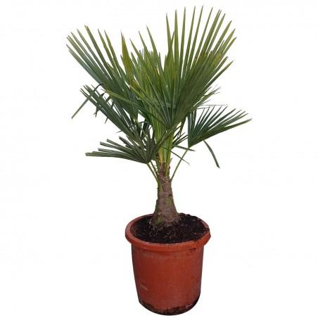 Palmier Trachycarpus Fortunei H.120 cm Stipe 20 cm