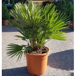 Palmiers Chamareops Humilis Vulcano Promofleur
