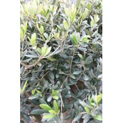 Zoom feuillage olivier tige 160 cm