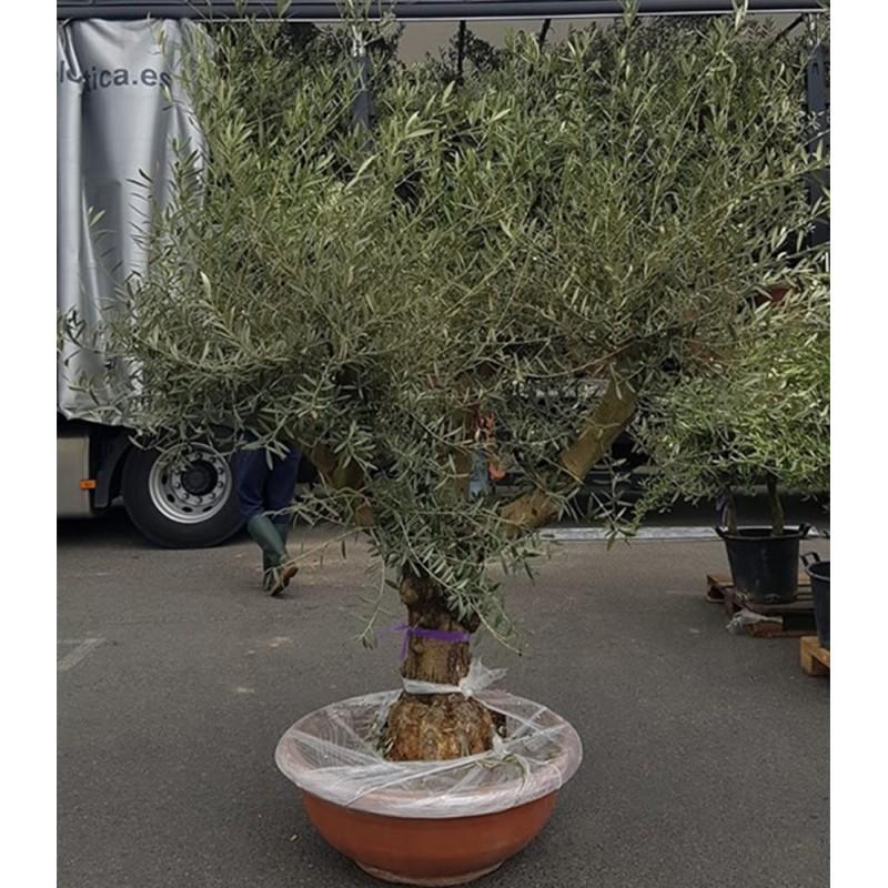 olivier 40/60 ans 170 cm belles charpentières pot bonsaï