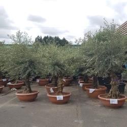 ensemble d'oliviers 40/60 ans 170 cm belles charpentières pot bonsaï (1)