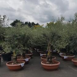 ensemble d'oliviers 40/60 ans 170 cm belles charpentières pot bonsaï (2)