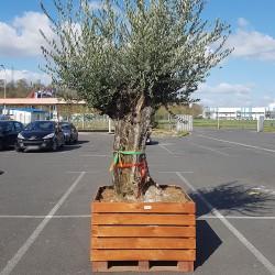 Olivier Centenaire (120 - 140 ans) Pot en bois (1)