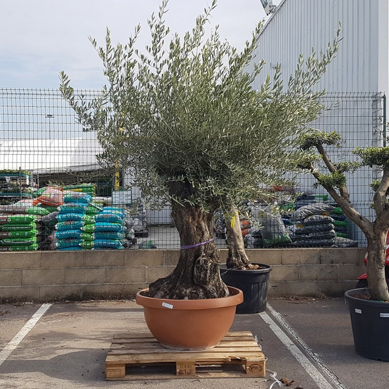 olivier âgé de 80 à 100 ans dans un pot bonsaï (1)