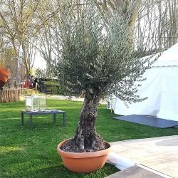 olivier âgé de 80 à 100 ans dans un pot bonsaï (2)