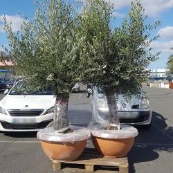 paire d'oliviers âgés de 80 à 100 ans dans un pot bonsaï