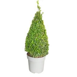 Buis Pyramide (Buxus Sempervirens Pyramide) hauteur 65 cm avec pot