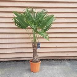 Palmier Trachycarpus Fortunei H.170 cm Stipe 60/80 cm - Promofleur