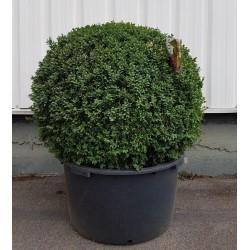 Buis Boule (Buxus boule) diamètre 80 cm hauteur 100 cm