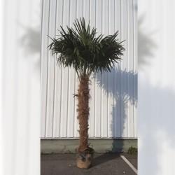 Palmier Trachycarpus Fortunei Hauteur 300 cm Stipe 140 - 160 cm - Promofleur (1)