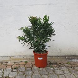 Laurier rose hauteur 100 cm - Promofleur (1)
