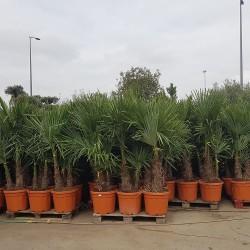 Ensemble de Palmiers Trachycarpus Fortunei Hauteur totale 170/180 cm - Stipe 60/80 cm (1)