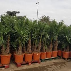 Ensemble de Palmiers Trachycarpus Fortunei Hauteur totale 170/180 cm - Stipe 60/80 cm (2)