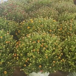 Chrysanthèmes pomponnettes - Promofleur Persan (95340) - (1)