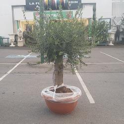 Olivier 30/50 ans dans un pot bonsaï couleur terre cuite - Promofleur Persan (4)