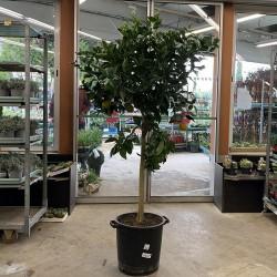 Oranger 4 saisons hauteur 180 cm avec pot - Promofleur (1)