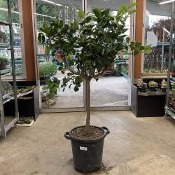 Citronnier 4 saisons hauteur 160 cm avec pot - Promofleur (1)