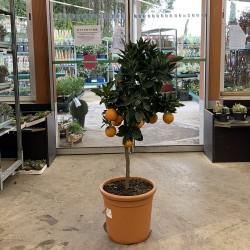 oranger 4 saisons hauteur 160 cm avec pot - Promofleur (1)