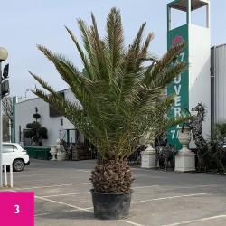 Palmier Phoenix Canarien Hauteur Totale 350 / 380 cm Stipe 60 / 70 cm - 3