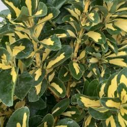Fusain du Japon - Euonymus japonicus - Gold Queen - Hauteur 110 cm avec le pot - détail - Promofleur