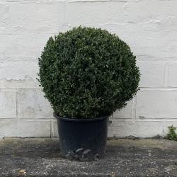 Buis boule diamètre 50 cm hauteur 70 cm - Promofleur Persan