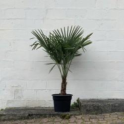 Palmier Trachycarpus Fortunei hauteur 150 cm Stipe 40/60 cm - Promofleur (1)