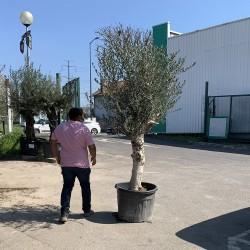 Olivier 50/60 ans hauteur 200 cm tronc blanc - taille (1)