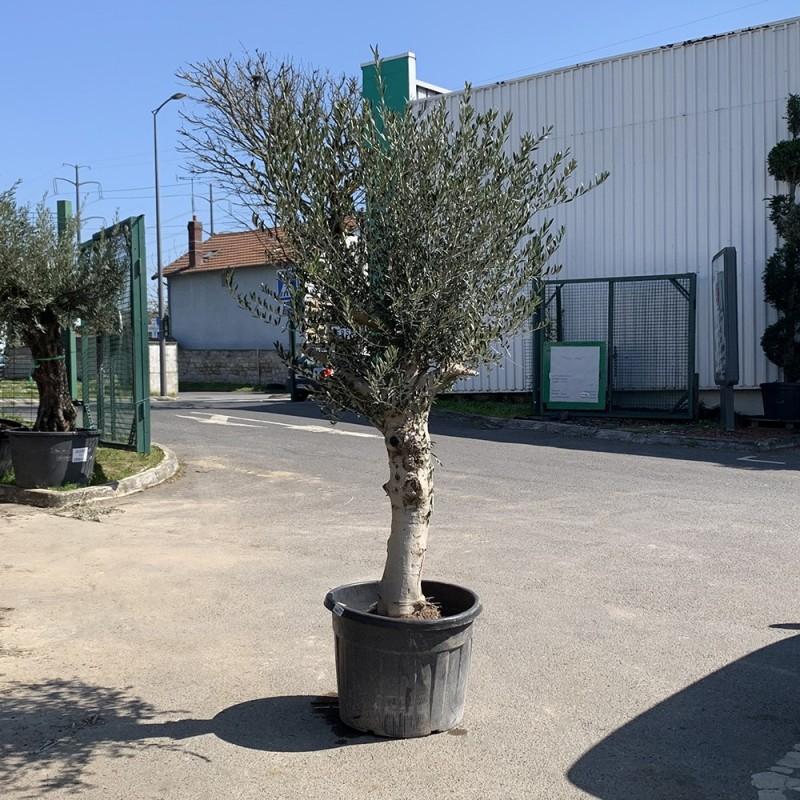 Olivier 50/60 ans hauteur 200 cm tronc blanc (1)