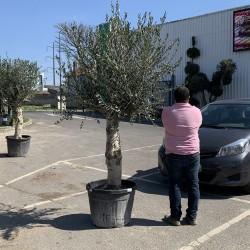 Olivier 50/60 ans hauteur 200 cm tronc blanc - taille (2)