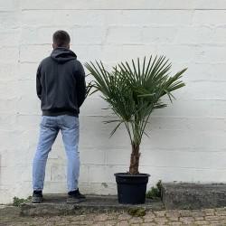 Palmier Trachycarpus Fortunei hauteur 150 cm Stipe 40/60 cm - Taille -  Promofleur (1)