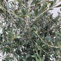 Zoom Feuillage d'olivier tige hauteur 140/180 cm feuillage bien touffu