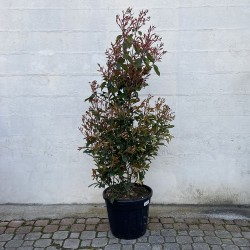 Photinia red robin Hauteur 175/200 cm avec pot