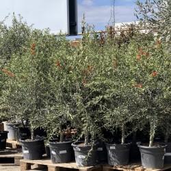 Ensemble d'oliviers tiges hauteur 140/180 cm - Promofleur Persan (2)