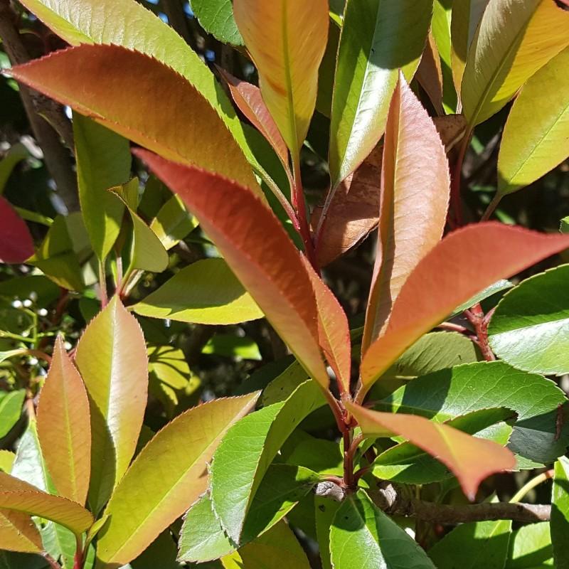 Gros plan sur feuillage de photinias Red Robin - Promofleur Persan