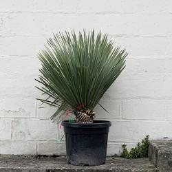 Yucca rostrata - PROMOFLEUR
