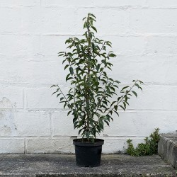 Prunus 'Novita' - PROMOFLEUR