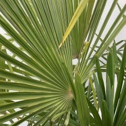 Palmier Trachycarpus Fortunei Hauteur totale 170/180 cm - Stipe 60/80 cm - Détail - Promofleur
