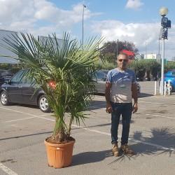 Palmier Trachycarpus Fortunei Hauteur totale 170/180 cm - Stipe 40/60 cm - Promofleur Persan